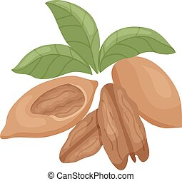 pecan - vector illustration of pecan nut kernel and leaves...