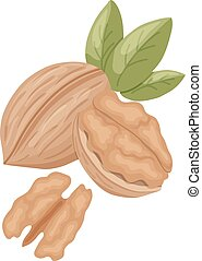 walnut - vector illustration of walnut on isolated...