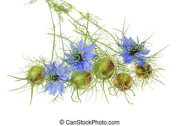 Nigella sativa - nigella flowers with pods isolated on white...