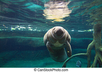 The West Indian manatee (Trichechus manatus, also known as...