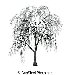 Willow on White - Weeping willow or sallow or osier isolated...