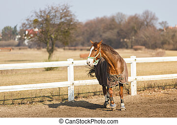 Horse in manege outdoor - Horse in manege at spring sunny...