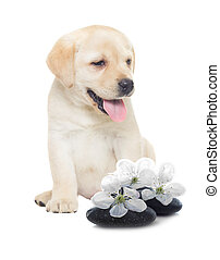 labrador puppy and stones for spa