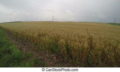 Walk in a wheat field on a cloudy day