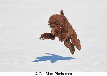 Jumping poodle in winter - Standard poodle standing with a...
