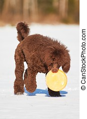 Poodle with a toy in winter - Standard poodle standing with...