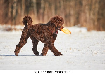 Walking poodle in winter - Poodle playing with a toy in...