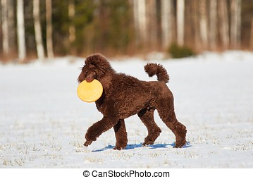 walking poodle in the winter - Standard poodle walking with...