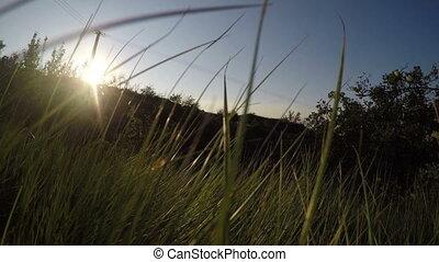 tall grass during a sunset - tall grass on a background...