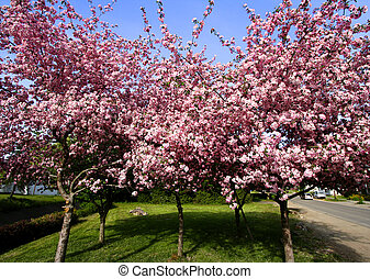 Spring scene - Pink blooming trees in the park in spring...
