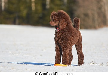 Standing poodle in winter - Standard poodle standing in the...