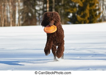 Playful dog running in snow - Standard poodle running with a...