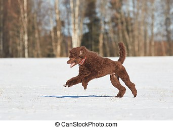 Dog jumpin in the snow - Poodle jumping in the snow in...