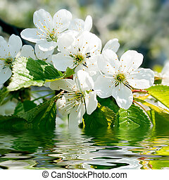 Blossomed cherry.
