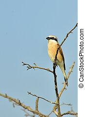 Red-backed Shrike (Lanius collurio) on brunch tree