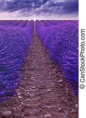 Beautiful colors purple lavender fields near Valensole,...