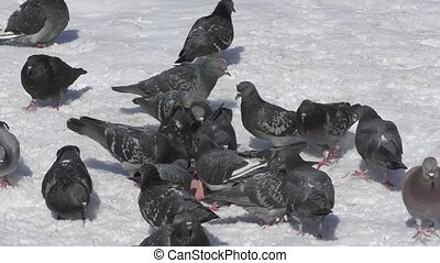 Pigeons and rooks lunching on snow