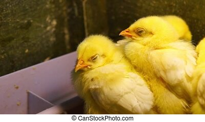 Yellow chickens close - Nice and small yellow chickens take...