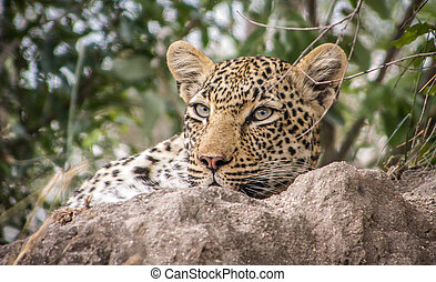 Starring Leopard, South Africa.