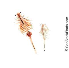 artemia, plancton, aislado, en, blanco, Plano de fondo,