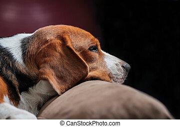 Young beagle sleep on pillow