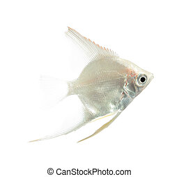 Angelfish Pterophyllum scalare isolated on white background...