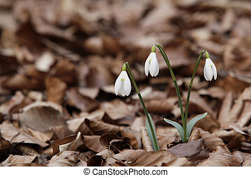 Snowdrops - Beautiful snowdrops