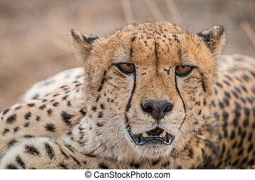 Starring Cheetah, South Africa