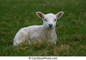solitary lamb sat on grass