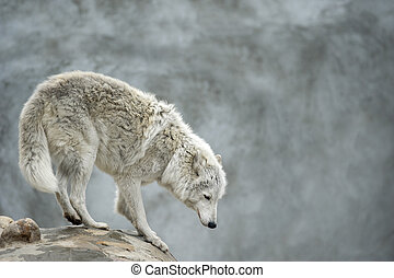 polar tundrian wolf standing on a clief