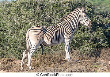 Burchells zebra stallion with genitals visible - A Burchells...