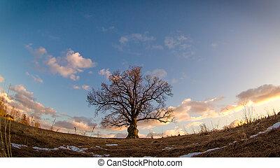 bicentenario, roble, árbol,