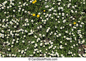 Lots of spring daisy flowers.