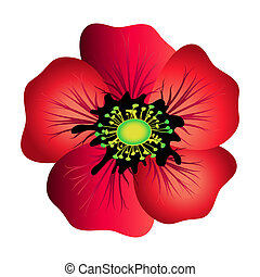 Red poppy isolated on white Spring flower