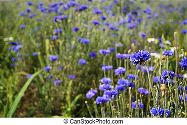 Cornflower - the product of organic farming
