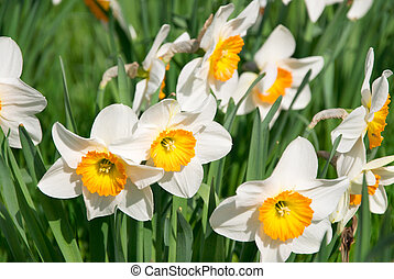 narcissus - white and yellow narcissus flowers