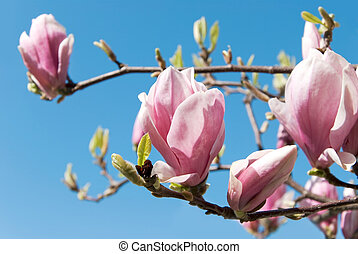 pink magnolia blossoms in front of blue sky