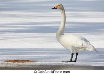 Whooper swan standing on ice - Whooper swan Cygnus Cycnus...