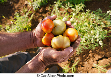 Man Farmer At Work Holding Tomatoes In His Hands