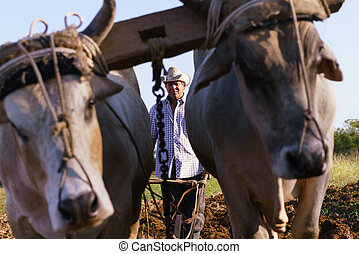 Man Farmer With Plough And Ox Seeding The Ground - Farming...