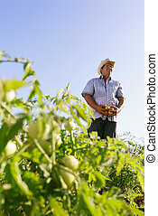 Portrait Man Farmer Harvesting Tomato Field Looking Away -...