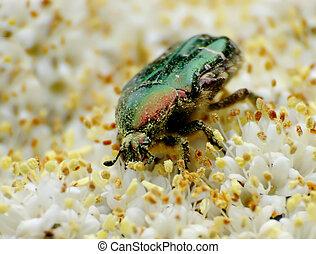 Beetle 2 - Little green beetle on elderberry