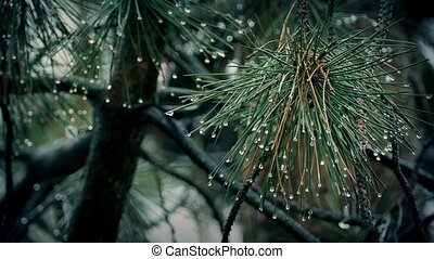 Pine Branches Dripping In Rain - Closeup of spiky pine...