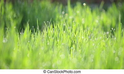 background of green gras with dew panning camera