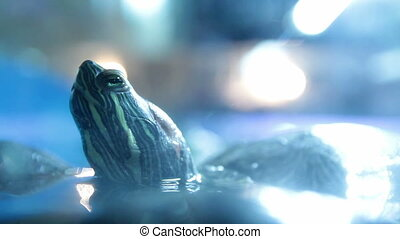 Red eared sliders  turtle head above water