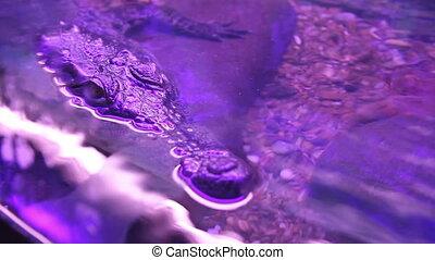 Nile crocodile head above water in zoo