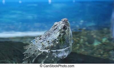 Chelydridae  Turtle head above water in zoo