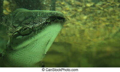 Nile crocodile head above water