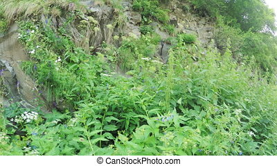 Thickets of cannabis in summer - Camera on steadicam of hemp...