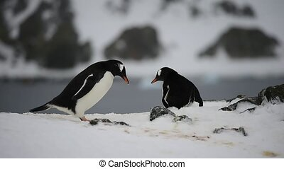 Gentoo Penguin on the nest, Hannah Point, Livingston Island,...